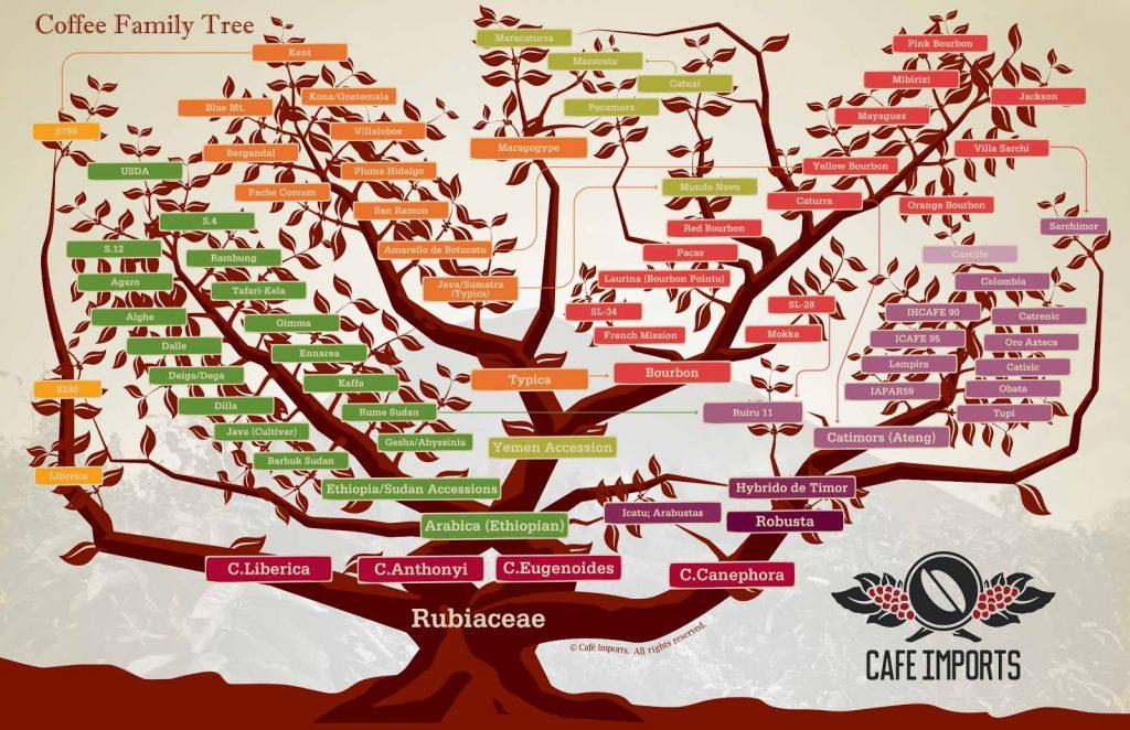 Coffee Family Tree